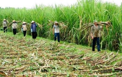 Tìm hướng đi cho ngành mía đường trong nước
